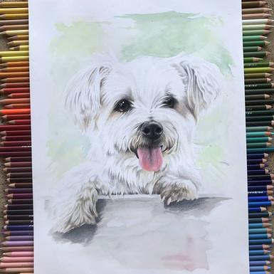 Dog - Full colour pencil 1.jpg