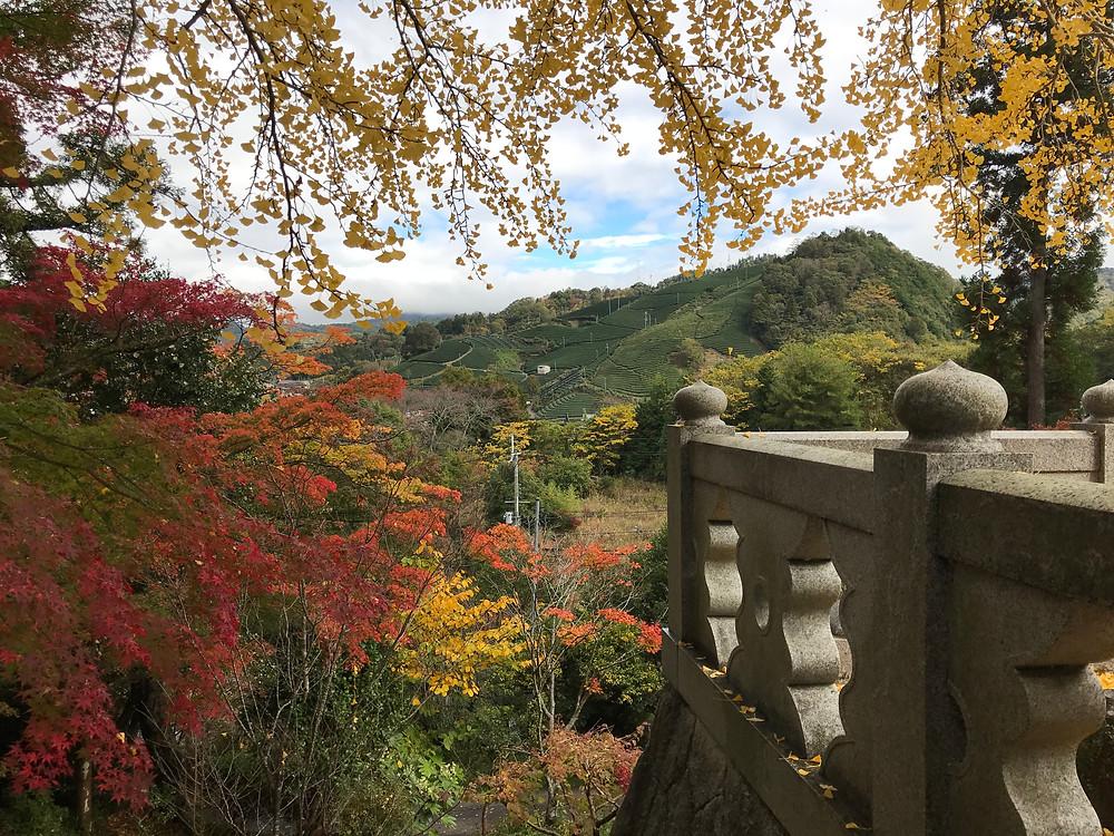 Wazuka tea fields through autumn Japanese Maple leaves