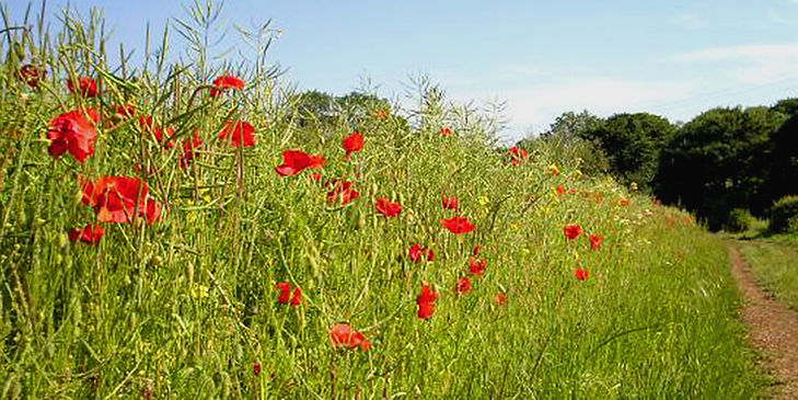 A field of poppies in the English countryside