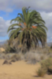 Phoenix canariensis - the Canary Island Palm