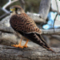 A kestrel on Gran Canaria