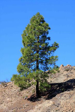 Canary Island Pine Pinus canariensis