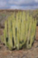 Euphorbia canariensis
