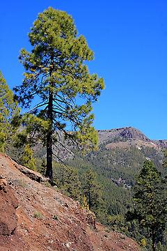 Canary Island Pine Tree Mount Teide National Park