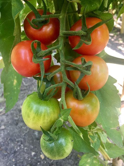Gardener's Delight Seeds