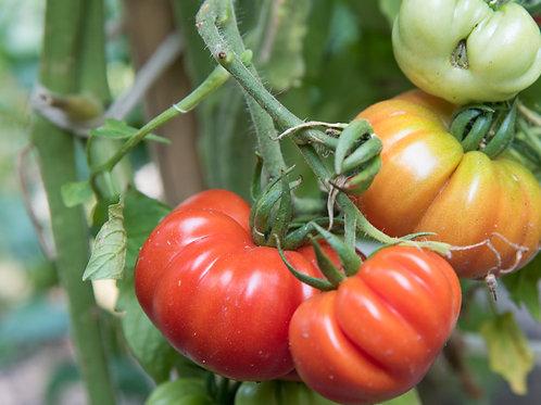 Costoluto Genovese (Plant)