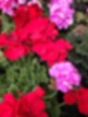 Geranium_edited.jpg