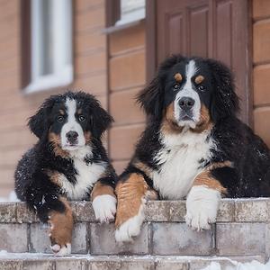 To hunde på trappe