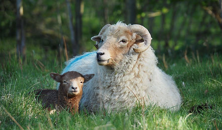 Loopy Ewes Portland ewe and lamb