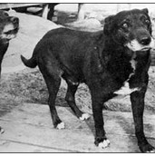 St-Johns-Waterdog.jpg