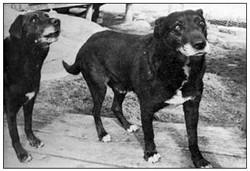 St-Johns-Waterdog