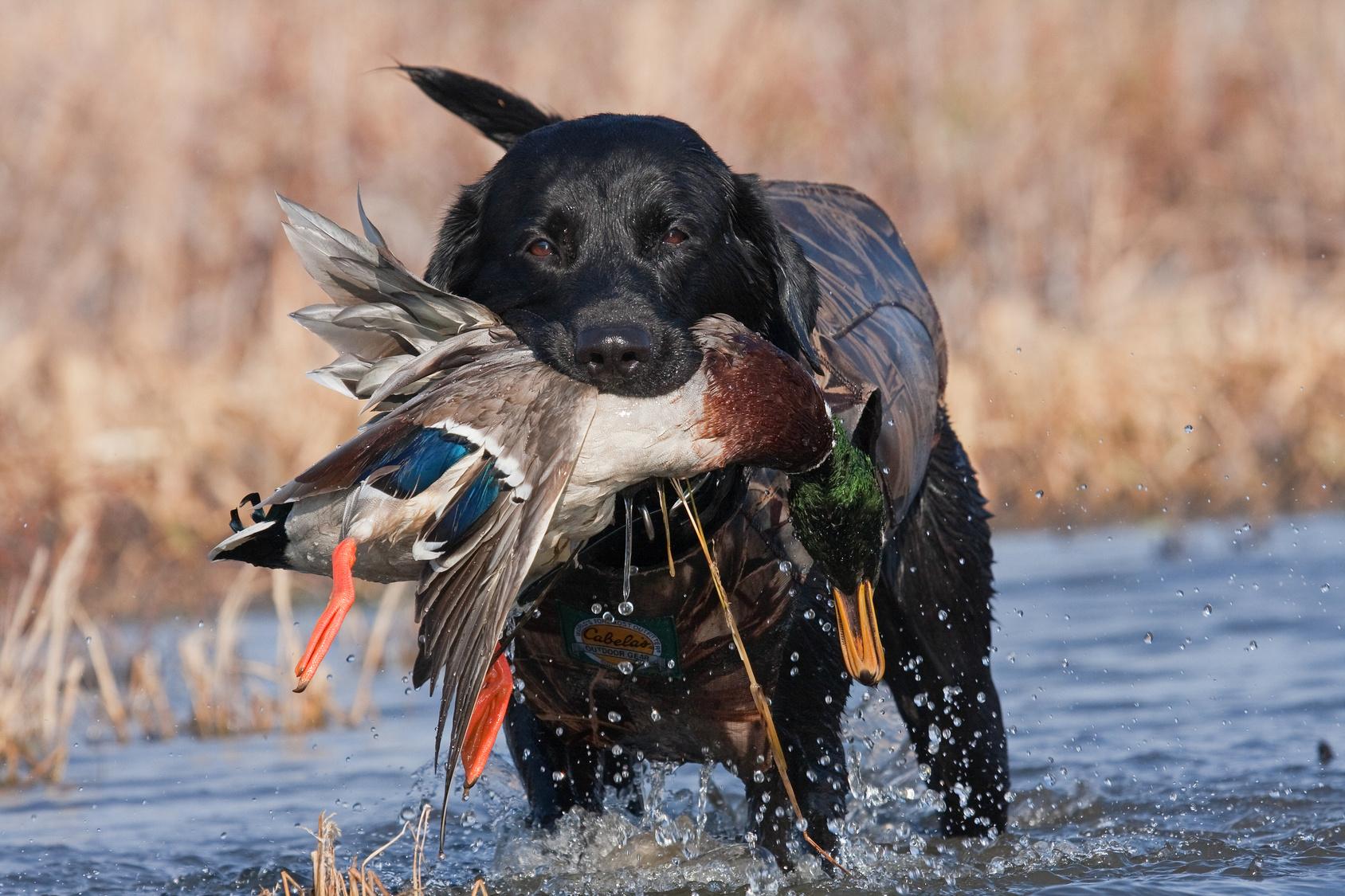 duck_dog