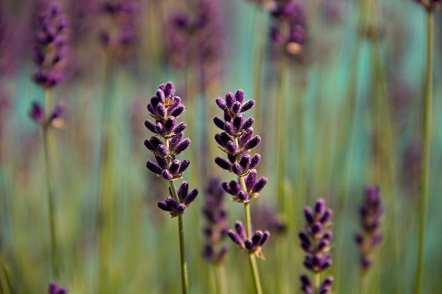 lavender-3458764.jpg