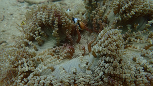Red & Black Clownfish with Beaded Anemone