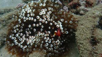 Cinnamon Clownfish with Bubble Tip Anemonie