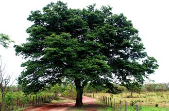Vinhada de Jatobá na Amazônia