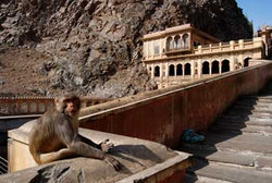 Jaipur---macaco-Templo-Mand
