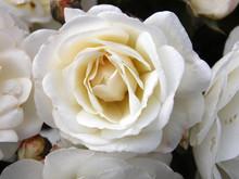 A Limpeza de Rosa Branca