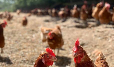 Woodlands Farm Eggs