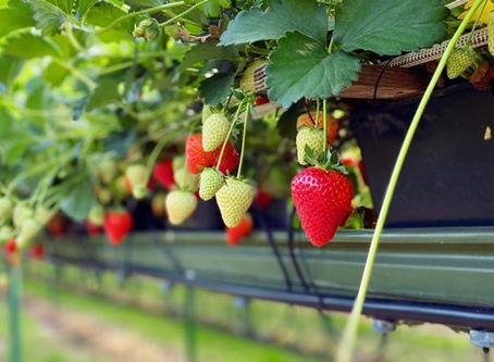 Our Kentish strawberries