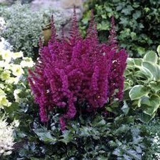 """Hiina astilbe """"Vision in Red"""""""