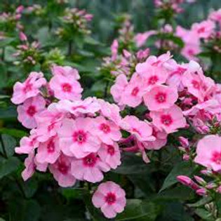 """Floks """"Early  Pink """""""