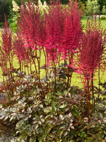 "Hiina astilbe ""Mighty Chocolate Cherry"""
