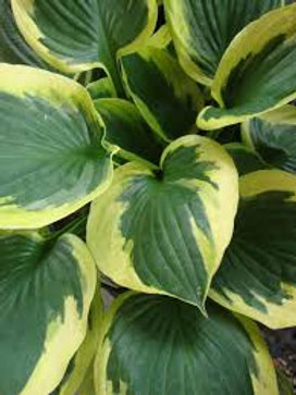 "Hosta ""Twilight"""