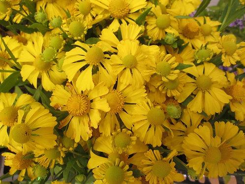 """Heleenium """"Helena Yellow"""""""