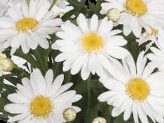 "Suur härjasilm ""Sweet Daisy Birdy"""
