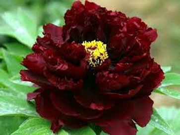 """Pojeng """"Black Beauty"""""""