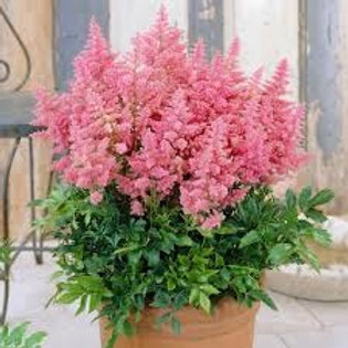 """Hiina astilbe """"Country and Western"""""""