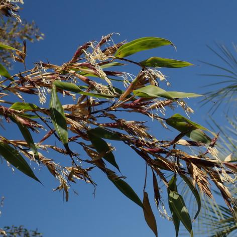 Un bambou en fleurs