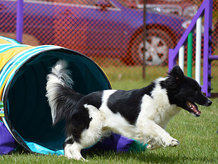 Dog Agility Competitions