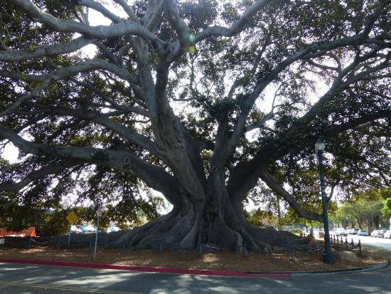 Moreton Fig Tree