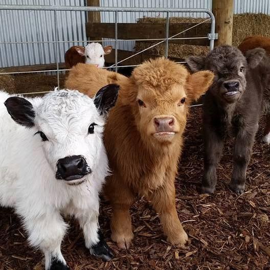 cute cows - go vegan