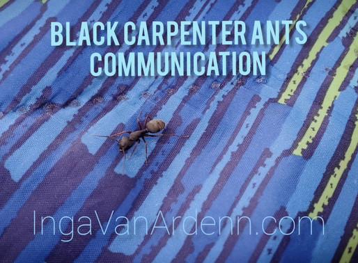 Black carpenter ants communication