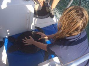 Sea Turtle, Green Sea Turtle, SUP Examiner, Matt Chebatoris, Long Beach, Aquarium of the Pacific