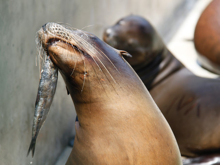 Save Our Sea Lions: Part Two