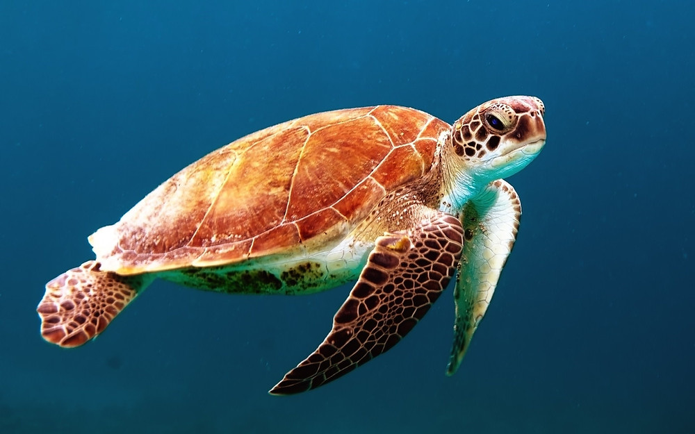 Brown Sea Turtle, PaddleXaminer, Earth Day