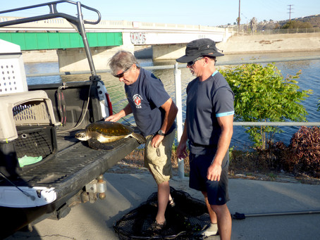 Endangered Sea Turtle Rescued From Ballona Creek in Los Angeles
