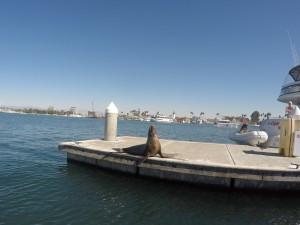 harbor, marina, marina del rey, sea lion, how to prepare for a paddle