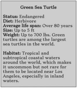 sea turtle, green sea turtle, Matt Chebatoris, Ballona Creek