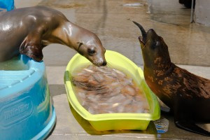 Rescued California Sea Lions at the Marine Mammal Care Center. Photo, Jennifer Gregory