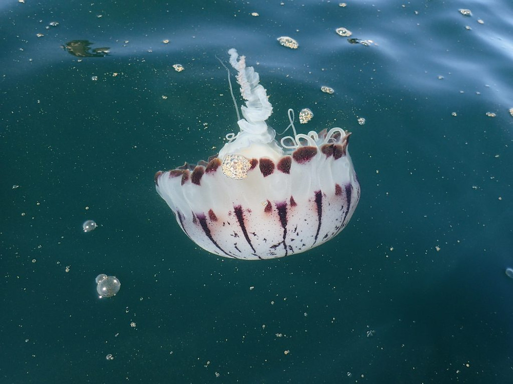 Purple-striped Jelly, sup examiner, earth day, paddling