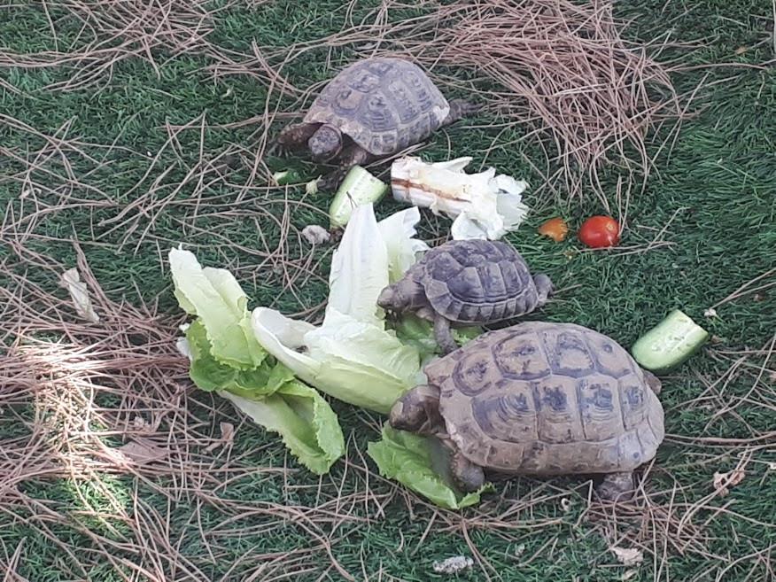 Mommy, Daddy &   baby turtles enjoying some lettuce