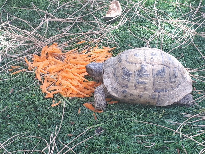 turtle eating grated carrots