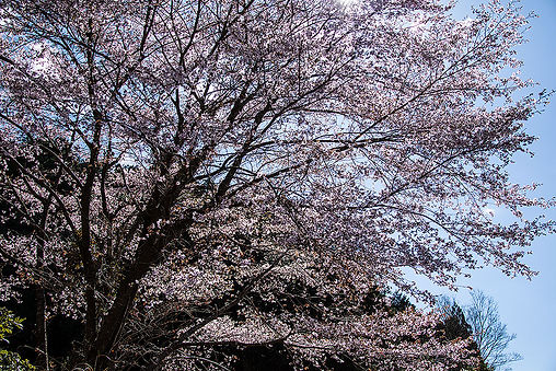 kumanozakura01.jpg
