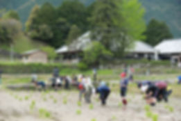 Rice planting by Oroshi school