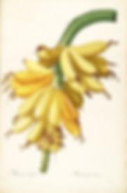 gravures_de_fleurs_liliacees_-_80150_mus